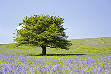 Lone tree and mauve spring wildflowers at Holwell Lawn, Dartmoor, Devon England - 31903-340-1