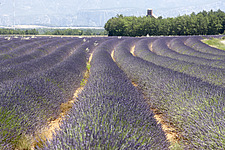 Lavender field, Provence - 11211-20-1