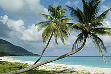 relaxed palm tree at Paraiso Beach, Dominican Republic - 11530-110-1