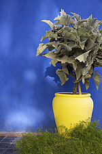 Canary yellow pot against a cobalt blue wall with asparagus fern and a large plant in the Majorelle Gardens, Marrakech - 14778-5310-1