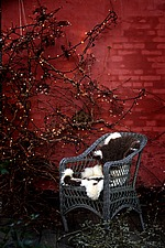 Basket chair in front of red wall with climber decorated with small lights - 16391-40-1