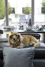 Pure breed long haired miniature dachshund  in front of out of focus silver and white Christmas decorations - 16753-130-1